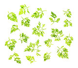 Dill leaves isolated