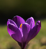 Purple spring crocus flower macro closeup