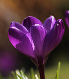 Purple crocus flower macro closeup