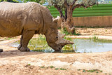 drinking water rhinoceros in Attica zoo