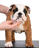 show puppy