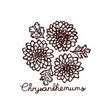 Handsketched bouquet of chrysanthemums