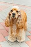 Cute sporting dog breed American Cocker Spaniel