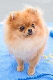 dog sable German Toy Pomeranian breed