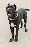 Black Dog breed Cane Corso standing