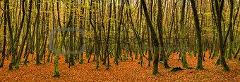 Beautiful vivid golden Autumn Fall forest panorama landscape