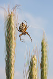 Spider on wheat