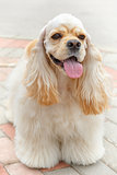 Cute smiling dog breed American Cocker Spaniel