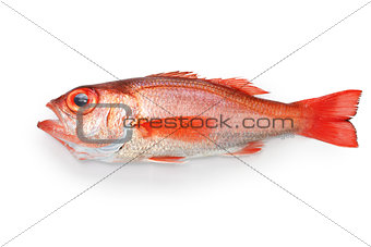blackthroat seaperch, rosy seabass