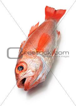 blackthroat seaperch, rosy seabass
