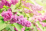 purple lilac branch