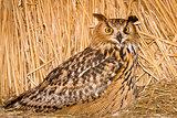 owl ordinary