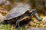 turtle red-hooting