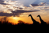 sunset and giraffes in silhouette in Africa