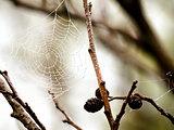 Cobweb on alder bush
