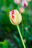 Flower Yellow tulips