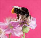 Red-tailed bumblebee, Bombus lapidarius, foraging on a flower in