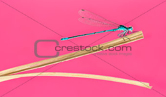Azure damselfly, Coenagrion puella, on a straw in front of a pin