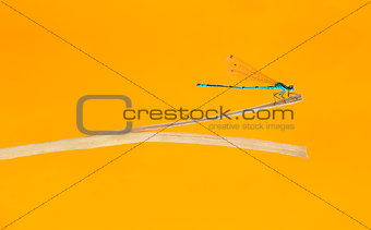 Azure damselfly, Coenagrion puella, on a straw in front of an or