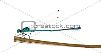 Azure damselfly, Coenagrion puella, on a straw in front of a whi