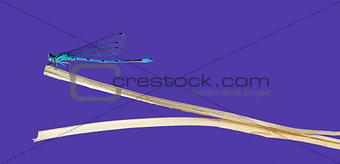 Azure damselfly, Coenagrion puella, on a straw in front of a pur