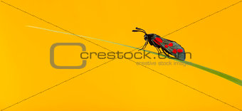 Six-spot burnet, Zygaena filipendulae, on a blade of grass in fr
