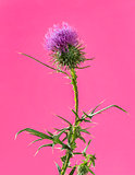 Thistle in front of a pink background in front of a pink backgro