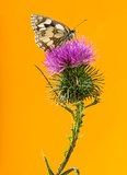 Marbled white, Melanargia galathea, on a thistle in front of an
