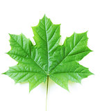 natural green maple leaf on a white background