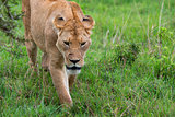 Closeup of lioness