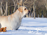 yellow labrador in winter in snow portrait