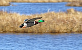 Mallard Duck In Flight