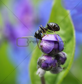 Ant climbing in colorful spring flower
