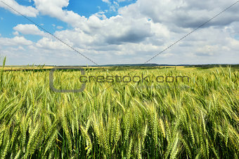 Green wheat field with blue sky