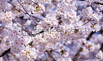 Blossoming sakura with pink flowers