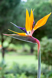 Strelitzia reginae is a monocotyledonous flowering plant