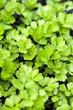 Celery Plants Closeup