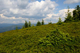 Blueberry bushes on mountains