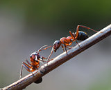 Two ants meet in garden