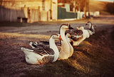 Domestic Geese Outdoor