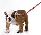 dog wearing leash