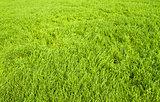 Green grass seamless texture.