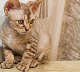 Devon Rex breed cat
