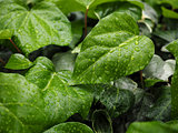 Green ivy Hedera
