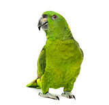 yellow-naped amazon, Amazona auropalliata in front of a white ba