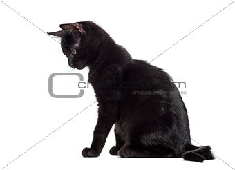 Black kitten looking down in front of a white background
