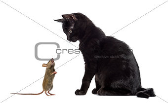 Black kitten sitting and looking at a mouse sniffing him in fron