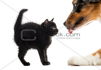 Black kitten looking at an Australian Shpeherd licking in front