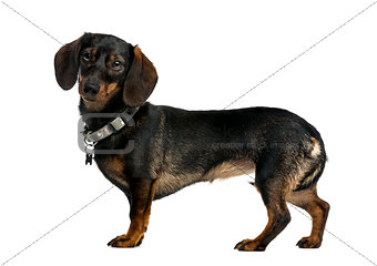Dachshund (9 years old) in front of a white background