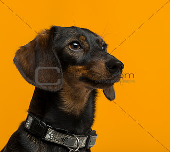 Dachshund (9 years old) in front of an orange background